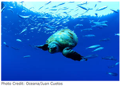 Sea turtles oceana