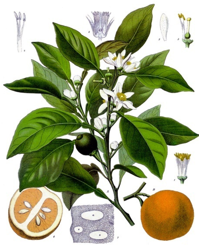 Bitter orange blossom