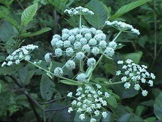 S s green hemlock plant
