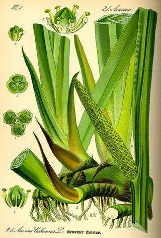 Calamus 1885 botanical illustration
