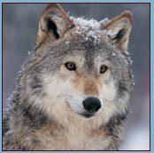 Nrdc_gray_wolf