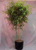 Tall_plant