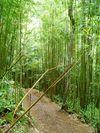 Xeno_bamboo